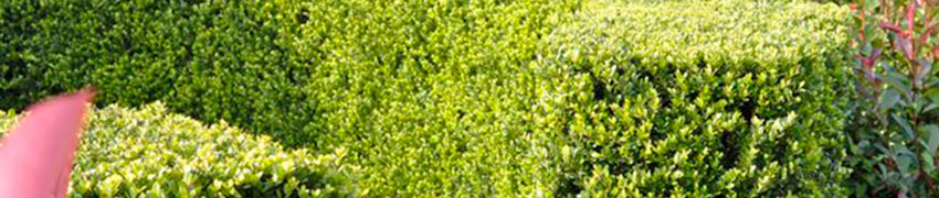 Wat maakt de Japanse hulst 'Dark Green'® zo'n goed buxusalternatief?